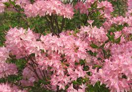 southern native plant nursery natural landscapes nursery native azaleas