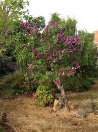 lilac tree peeinn com