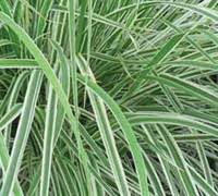 variegated grass ornamental grasses