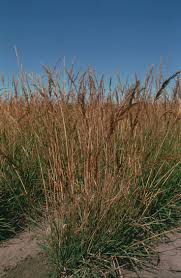 how to plant native grasses 11 best native grasses of the northeast database images on