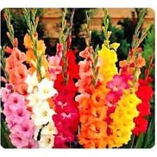 gladiolus flowers gladiolus flower manufacturers suppliers wholesalers