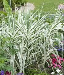 donax variegata ornamental grass