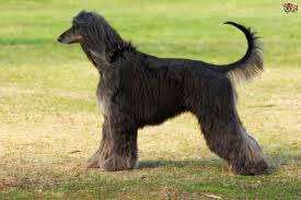 afghan hound racing uk what type of sighthound is right for you pets4homes