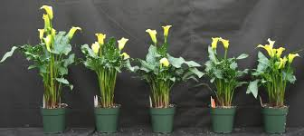 Calla Lillies Calla Lily Height Control With Media Drenches U2013 Greenhouse Product