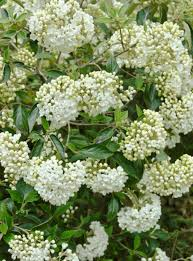 Shrub With Fragrant Purple Flowers - best shrubs for mid atlantic gardens