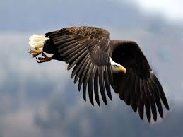 eagle wallpaper beautiful eagle birds wallpaper gallery
