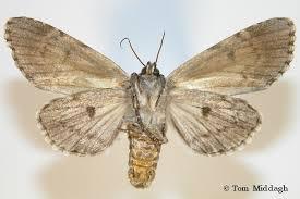 dagger moth acronicta americana harris 1841