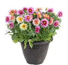 dalia in vaso dahlia flower in pot stock image image of yellow pink 53730493