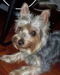 silky terrier with haircut boy yorkie haircuts the gallery for yorkshire terrier haircuts
