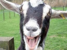 Funny Goat Memes - funny goats screaming like humans youtube