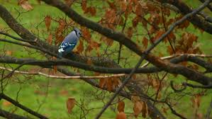 blue jay in autumn ridgefield connecticut nature photography