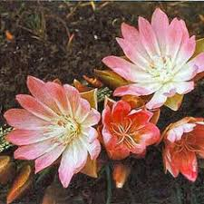 State Flower Of Montana - the bitterroot flower the state flower of montana and of course