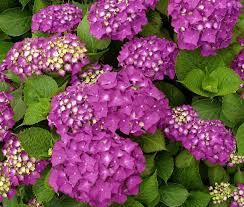 potare le ortensie in vaso ortensia famiglia hydrangeaceae come curare coltivare e far