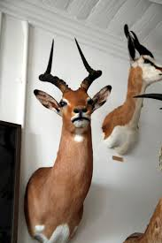 527 best taxidermy images on pinterest taxidermy taxidermy