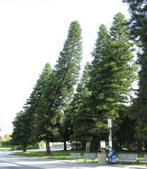 scientists just solved the strange of pine trees that always