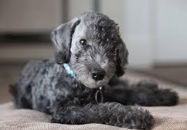 affenpinscher for sale ohio bedlington terrier puppies for sale akc puppyfinder