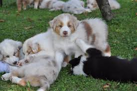 australian shepherd 5 wochen aussie dream home facebook