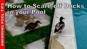 ducks in your swimming pool how to scare them off youtube