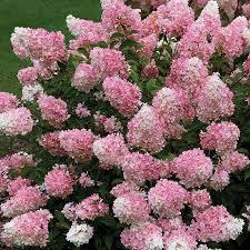 hydrangea vanilla strawberry 10 blooms flowering shrub for shade