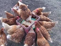 backyard chickens honor a dawson