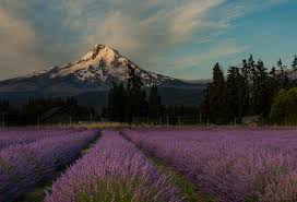 Valley Oregon Color Your World Beautiful At Lavender Valley Oregon Lavender