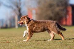 running with australian shepherd puppy australian shepherd puppy running stock photos images u0026 pictures