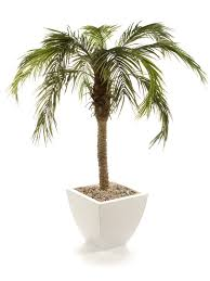 closer to nature 5ft areca palm tree co uk garden