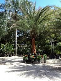 Palm Trees Fruit - palm gardens nursery offers in orlando fl palm trees fruit treel