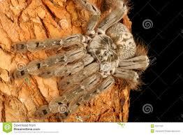 indian ornamental tarantula stock photos image 4327703