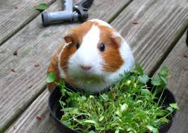 guinea pig what do guinea pigs eat a critical guide to the cavy diet