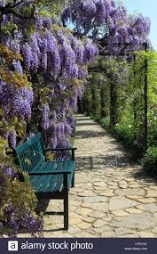wisteria sinensis tree stock photos u0026 wisteria sinensis tree stock