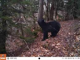 Vermont wildlife images State deploys cameras into national forest to study how wind jpg
