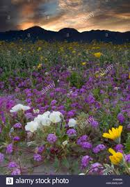 Anza Borrego Wildflowers Super Bloom by Henderson Canyon Wildflowers Anza Borrego Desert State Park Stock