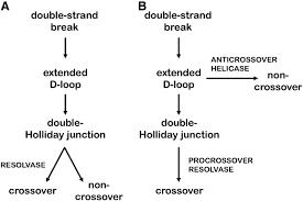 meiotic and mitotic recombination in meiosis genetics