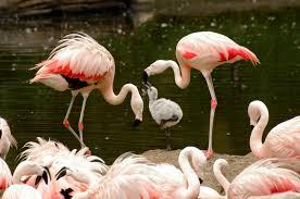 think pink u2013 flamingo dads wild view