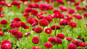 Flowes Red Flowers Wallpaper Wallpapers For Free Download About 3 596
