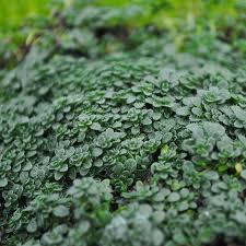 thymus serpyllum elfin thyme for miniature garden fairy garden