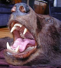 brown u0026 black bear skin rugs for sale bill u0027s bear rugs u0026 taxidermy