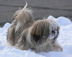 pictures of shorkie dogs with long hair how to grow long hair on a shih tzu cuteness
