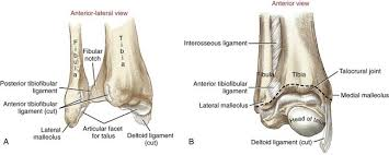 Posterior Inferior Tibiofibular Ligament Structure And Function Of The Ankle And Foot Musculoskeletal Key