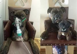 boxer dog vomiting after eating dog has to eat meals in a special chair due to canine