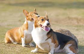 corgi about corgi dogs animals mom me