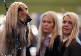 afghan hound hairstyles crufts 2012 owners and their look a like dogs in pictures daily