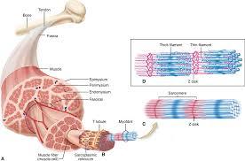 anatomy of skeletal muscle image collections learn human anatomy