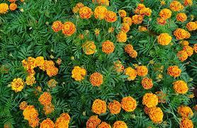 flowers for vegetable garden flowers for the vegetable garden