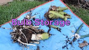 storing bulbs for winter elephant ear colocasia esculenta