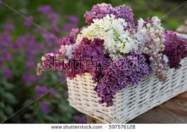 lilac flowers white purple lilac flowers basket syringa stock photo 597576128