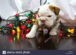 bulldog holiday stock photos u0026 bulldog holiday stock images alamy