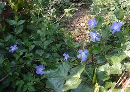 Vinca Flower Information - greater periwinkle vinca major species information page