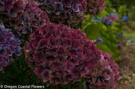 wholesale hydrangeas antique hydrangeas wedding design oregon coastal flowers